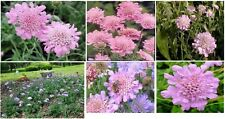 Buy 1 Get 1 Free *Pink Scabiosa* Pom Pom Perennial Flowers Way Over 100+ Seeds
