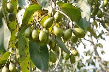 15 Terminalia chebula Seeds, Black Myrobalan Seeds ,Chebulic Myrobalan,
