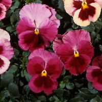 Pansy Seeds Acq Strawberry Rose 50 FLOWER SEEDS