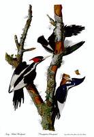 Audubon Ivory-Billed Woodpecker 30x44 Hand Numbered Edition Fine Art Print