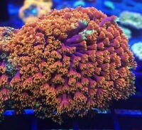 ReefStag LOONEY RAINBOW Goniopora Tank-Raised Live Coral LPS Aquarium Reef Tank