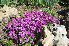 60 graines d'ARABETTE DU CAUCASE ROSE (Arabis Caucasica Rosea) X320 SEEDS SAMEN