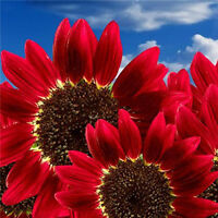 15 stücke Sonnenblumenkerne Blumensamen Red Sun Fortune Bloom Bonsai