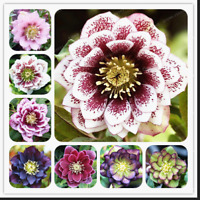Helleborus Plants Winter Rose Flowers Rare Garden Bonsai NEW 2021 100 PCS Seeds