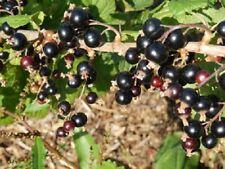 Cassissier 'Géant de Boskoop' Ribes nigrum 'Géant de Bosk pot 3 litres 60/80 cm