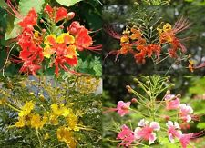 50 SEEDS MIXED  PEACOCK FLOWER BARBADOS PRIDE PLANT FRESH AND VIABLE
