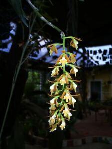 Orchid seed EPIDENDRUM POLYANTHUM