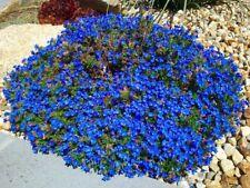 60 + Wonderland Blue Alyssum Perennial Ground Cover Flower Seeds