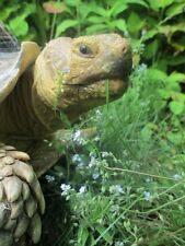SW Forget-me-not seeds, plant your own food, tortoise