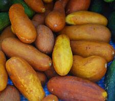 Sambar Cucumber- Asian/Indian Cucumber-  10 finest Seeds
