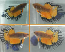 Live Betta Crown Tail Orange Fancy