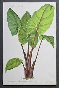 1886 COLOCASIA DEVANSAYANA Genuine Antique Botanical Print LINDEN