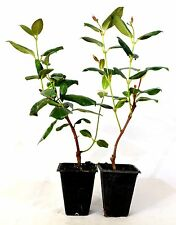 Red Brazilian Jasmine - 2 Pack Mature Hardy Easy to Grow Plants Flower