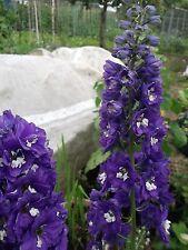 Casa rural jardín perenne Delphinium fuente mágica Abeja Azul y Blanca 75 semillas