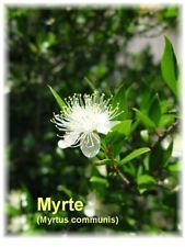 ***Myrte, Myrtenöl, naturrein (Myrtus communis) 5ml  -  Topp-Qualität!!