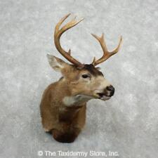 #18092 E | Sitka (Blacktail) Deer Shoulder Taxidermy Mount For Sale