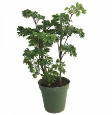 "Japanese Ming Aralia Tree Plant - Polyscias - Indoor - 4"" Pot"