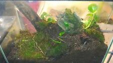 GREEN HOUSE GROWN FOREST MOSS PERFECT FOR VIVARIUMS REPTILES AND AMPHIBIANS...