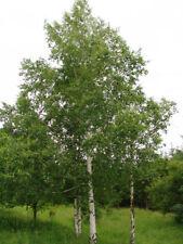 300 semi di BETULA PENDULA Betulla bianca