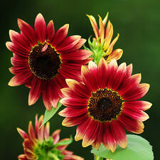 Sunflower Seed red Fortune Flower Seed ~1 Pack 20 Seeds~