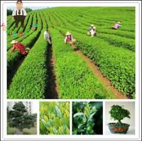10 Pcs Lot Chinese Green Tea Tree Seeds Bonsai For Garden Home Perennial NEW G