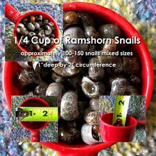 New listing 1/4 Cup of Live Ramshorn Snails approx 100-150 snails