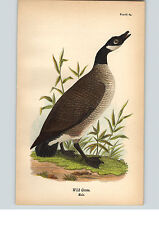 1890 Bird Colored Lithograph Litho Plate Wild Goose (Canadian Goose) Male