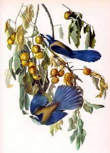 Audubon Florida Jay 15x22 Hand Numbered Ltd. Edition Fine Art Print
