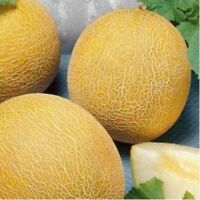 Seeds Rare Melon Cantaloupes Charente F1 Honeydew Sweet Organic Russian Ukraine