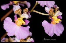 Mounted Tolumnia scandens 2 shoots 20 x 10 cm B.S
