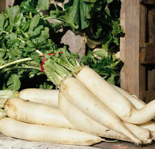 "Heirloom Daikon Minowase Radish❋500 SEEDS❋Up to 24"" Roots❋Asian❋Japanese❋Chinese"
