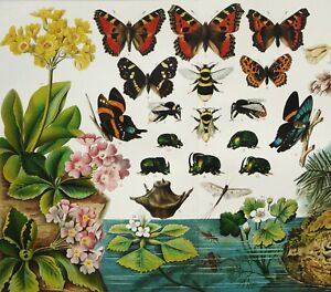 1897 Antique lithograph: DARWINISM. BIOLOGICAL EVOLUTION OF INSECTS. BUTTERFLIES