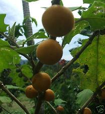 25 FRESH NARANJILLA SOLANUM QUITOENSE PLANT FRUIT SEED