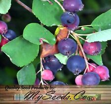 (20) Saskatoon Berry, Serviceberry Seeds  - Amelanchier alnifolia - Combined S&H