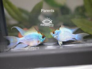 """Live Electric Blue Ram Long Fins Veil Cichlid Fish Approx 1"""" to 1 1/2"""""""