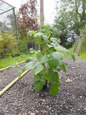 Raspberry Full Sun Fruit Plants