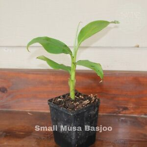 Small Musa Basjoo Cold Hardy Banana Plant