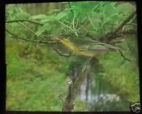 Glass Magic Lantern Slide BIRDS OF EUROPE NO78 C1910 ORNITHOLOGY PHOTO