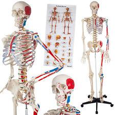 Menschliches Skelett Anatomie Lehrmodell+ Muskel+Knochen Bemalung Nummerierung N