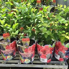 SHARPE BLUE BLUEBERRY Vaccinium all-year fruiting plant in 140mm pot
