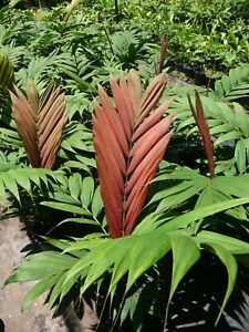 RARE PALM PLANT.....Calyptrocalyx albertisianus (Sunset Palm)