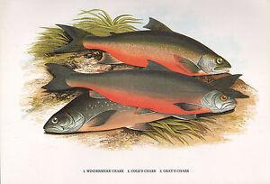 VINTAGE FACSIMILE FISH PRINT ~ WINDERMERE CHARR COLE'S GRAY'S ~ A. F. LYDON
