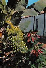 BR86484 islas canarias planta de platanos y flor de pascua spain