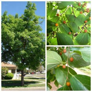 30Pcs Celtis sinensis Tree Seeds Stone Tree Beautiful Decorative Garden Plants