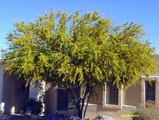 30 Graines Mimosa farnesiana 'Acacia farnesiana' – Sweet Acacia tree seeds
