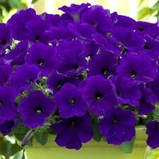 25 Pelleted Seeds Trilogy Blue Trailing Petunia Seeds Pelleted Petunia Seeds
