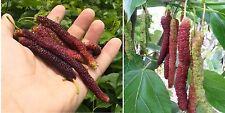 5x Schlangen Maulbeeren Samen Rarität Pflanze Obst essbar Neu selten Garten #107