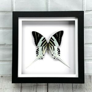 Giant Swordtail Butterfly (Graphium androcles) Swallowtail Box Display Frame