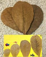 10 Seemandelbaumblätter 10cm Nano Aquarium Garnelen Welse Diskus Catappa Leaves