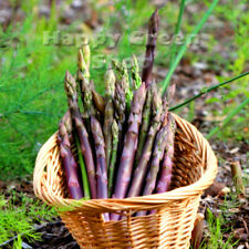VEGETABLE - ASPARAGUS D'ARGENTEUIL - 110 seeds - Perennial vegetable